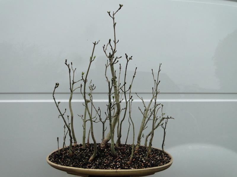 forêt de frêne (bonsaï)  Dsc08141