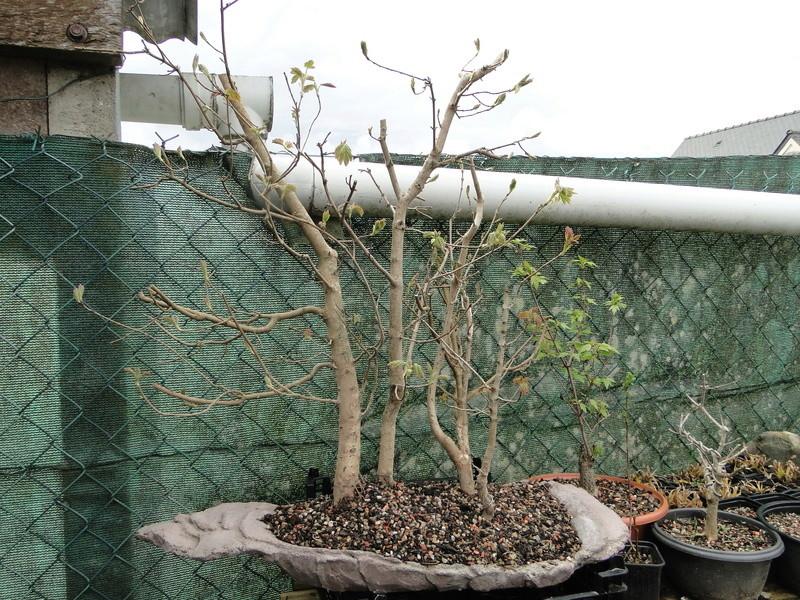 forêt de frêne (bonsaï)  Dsc08143