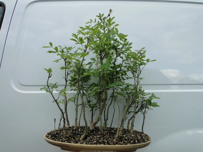 forêt de frêne (bonsaï)  Dsc08219