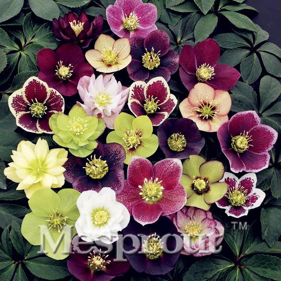 Helleborus niger ou Rose de noel ou Hellebore - Page 32 Novelt10