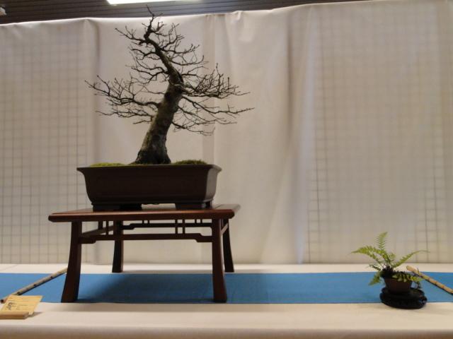 expo club bonsaï émeraude 2018  Xxdsc012