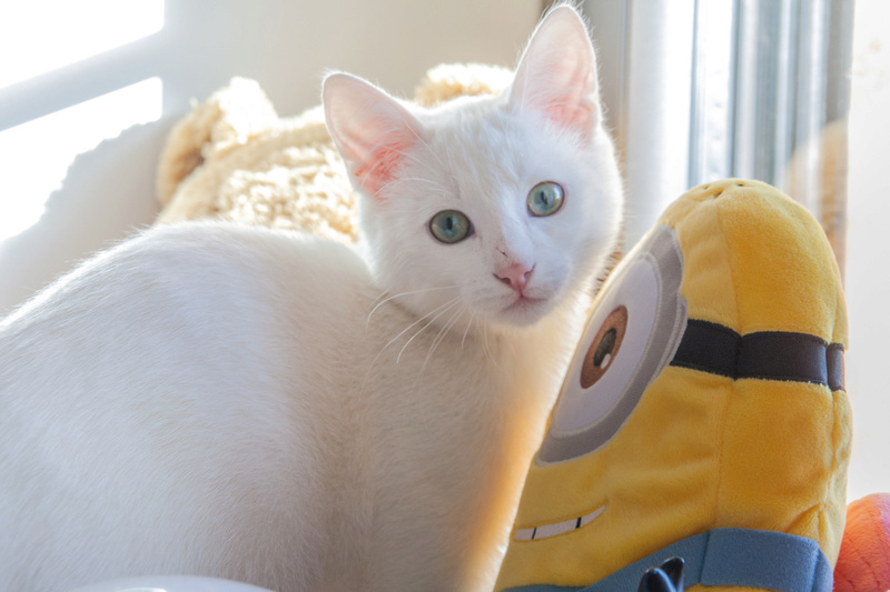 Mitsi, mâle tye européen blanc né le 20 septembre 2017 - Page 2 Mitsi-15