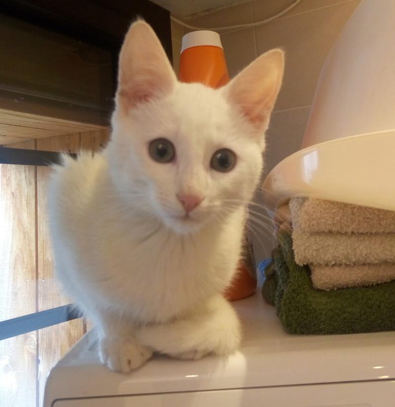 Mitsi, mâle tye européen blanc né le 20 septembre 2017 P_201810