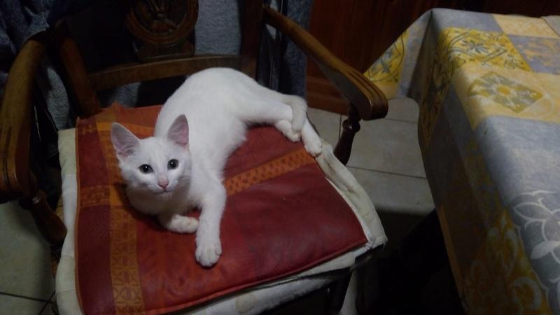 Mitsi, mâle tye européen blanc né le 20 septembre 2017 P_201822
