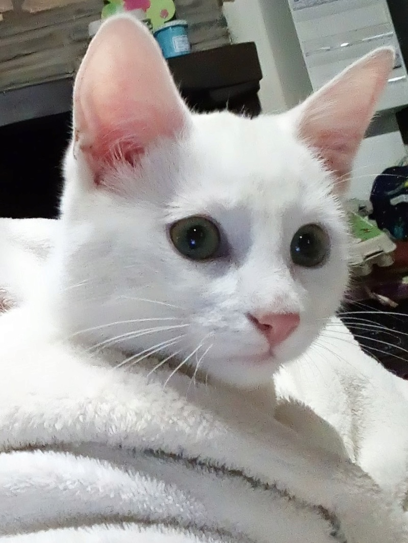 Mitsi, mâle tye européen blanc né le 20 septembre 2017 P_201825