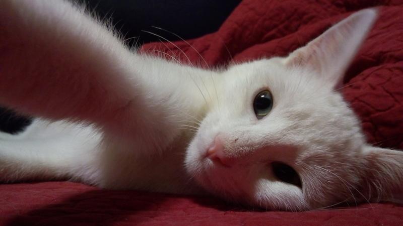 Mitsi, mâle tye européen blanc né le 20 septembre 2017 P_201834