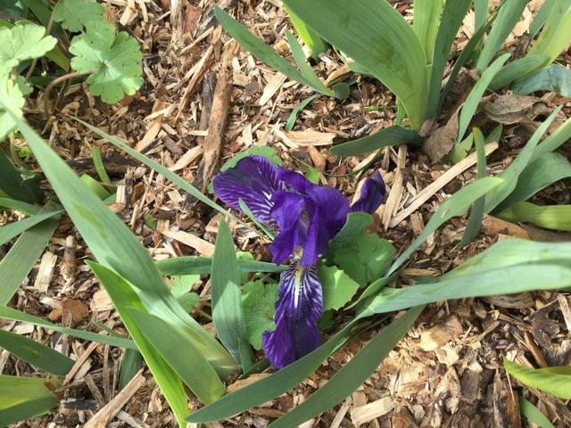 Iris lutescens, appelé l'iris des garrigues, A2f6a610