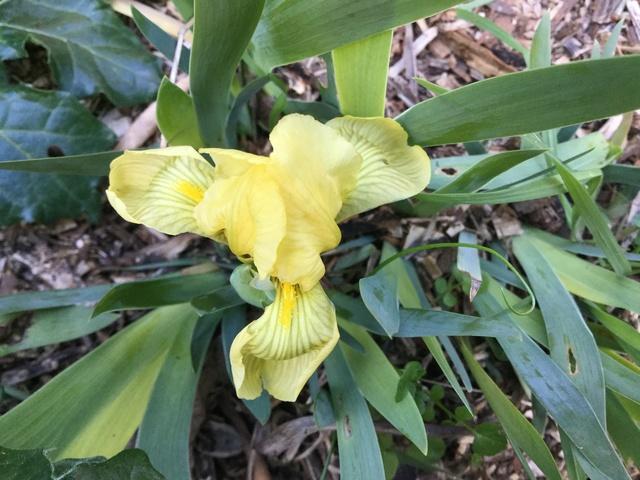 Iris lutescens, appelé l'iris des garrigues, A34d9b10