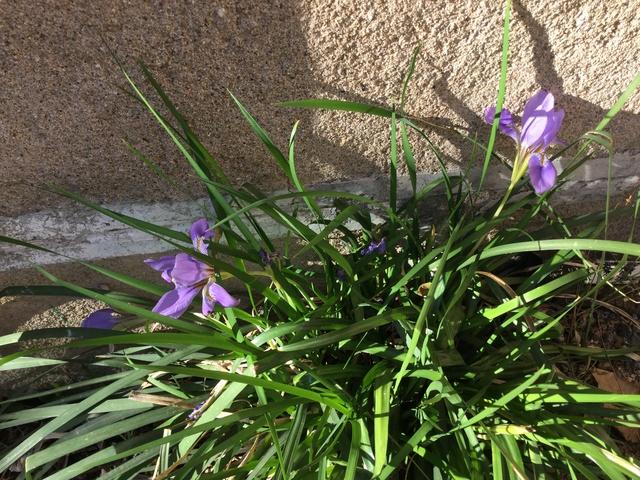 Iris unguicularis ou Iris d'Alger - Page 5 Cc118310