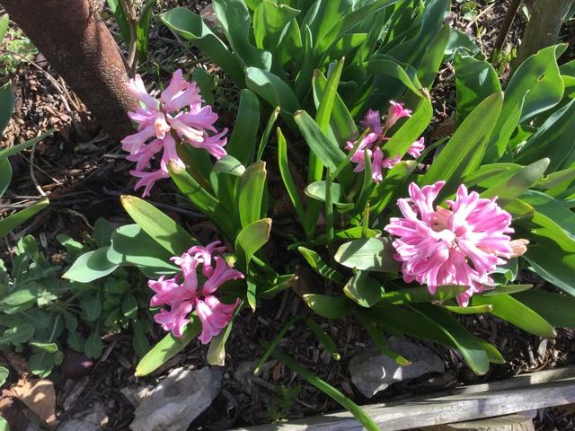 Jacinthe , Hyacinthus - Page 9 Da319910