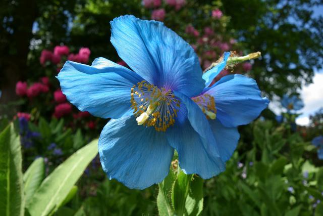 Pavot bleu de l'himalaya Fb7ce310