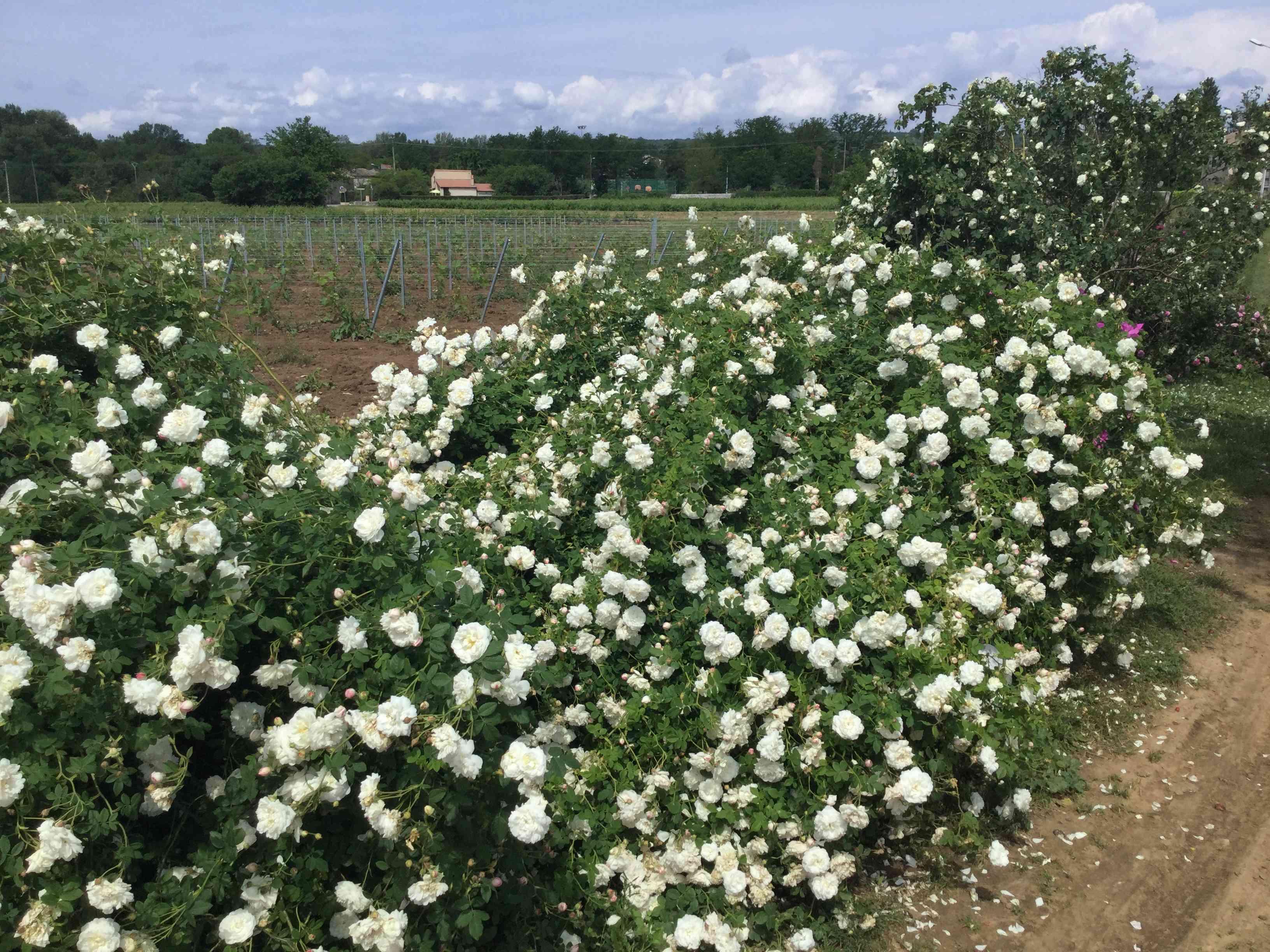 La Roseraie des Pommiers en Ardèche 15273810