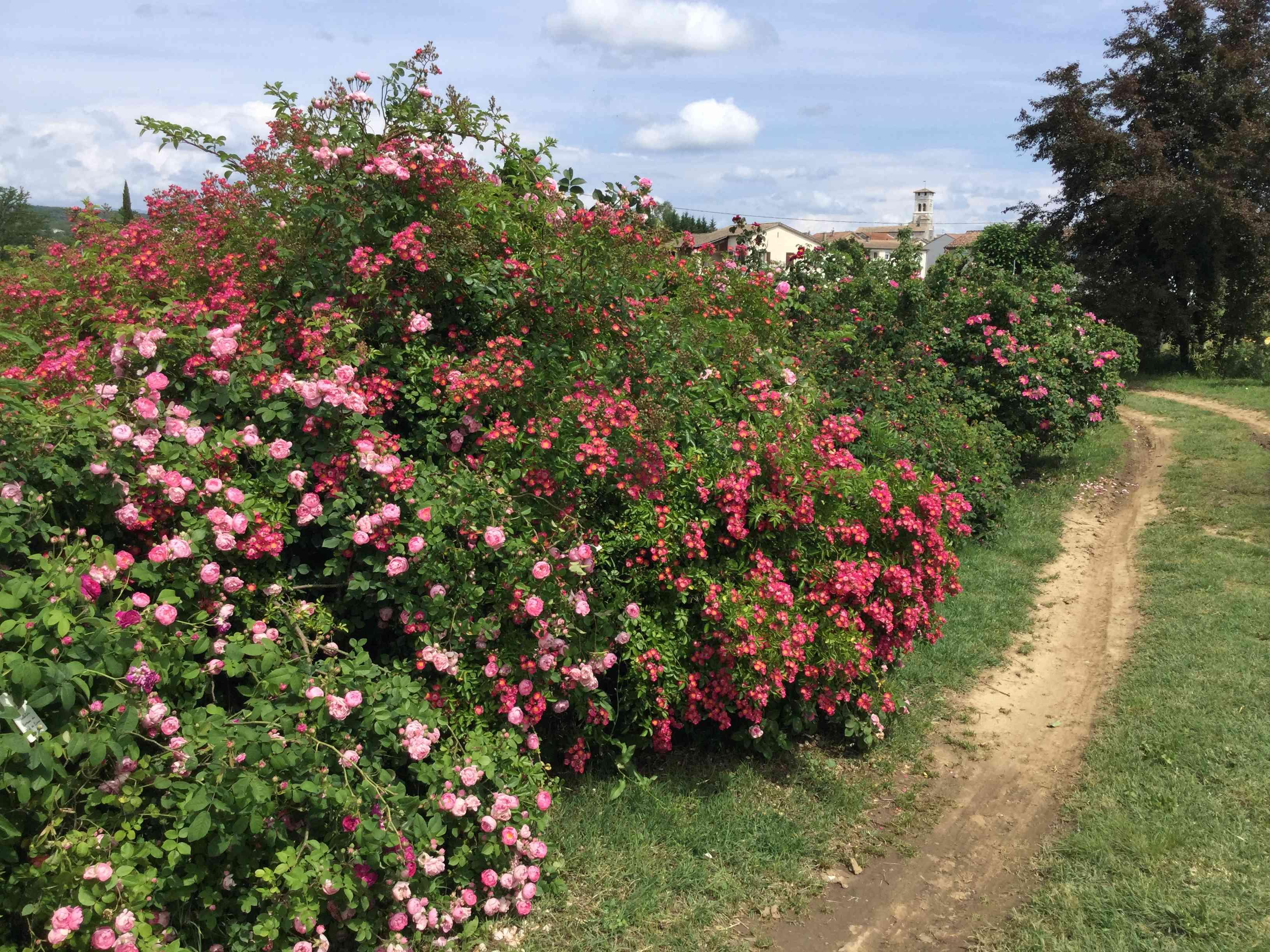La Roseraie des Pommiers en Ardèche 26f43910