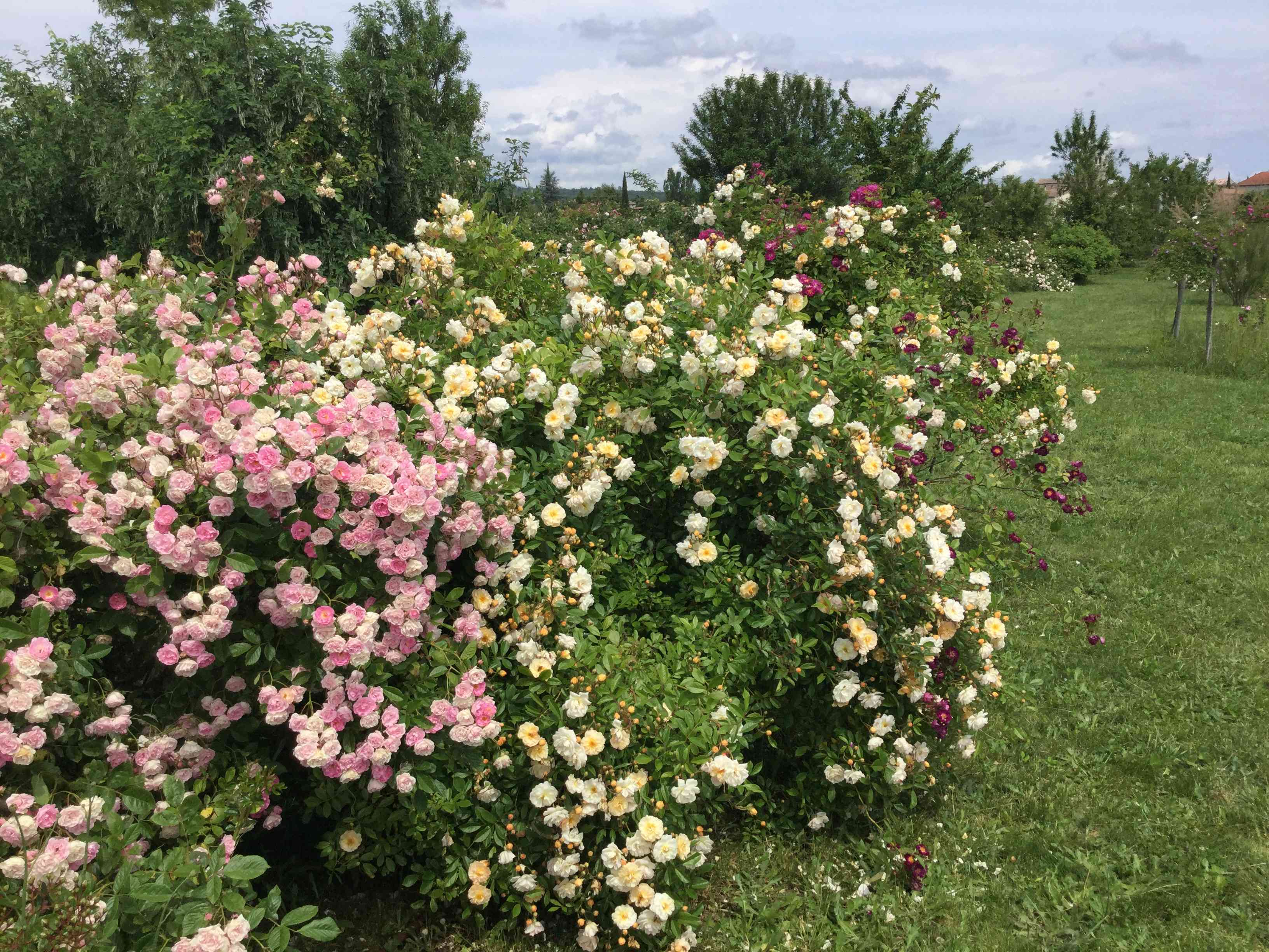 La Roseraie des Pommiers en Ardèche 39ffed10