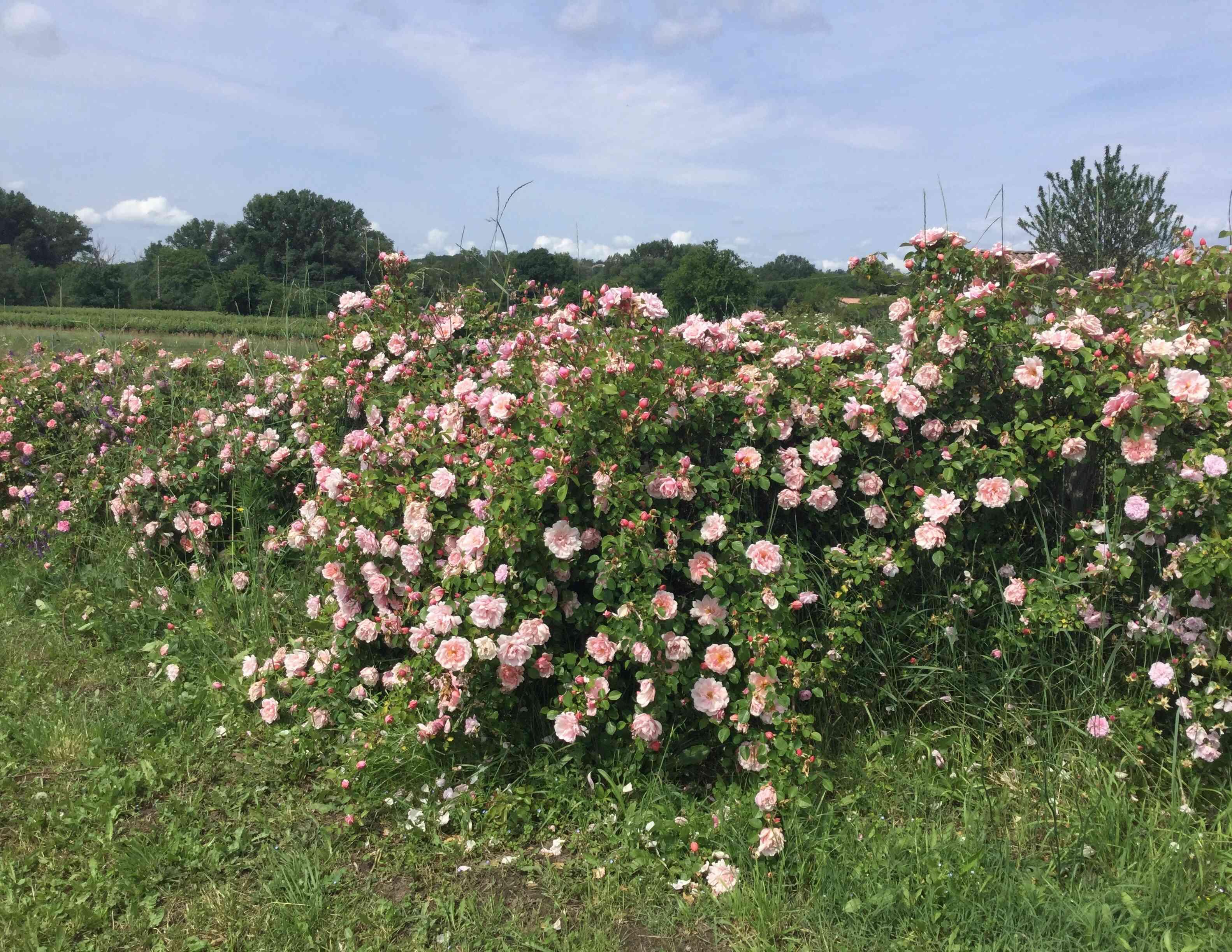 La Roseraie des Pommiers en Ardèche 4703e510