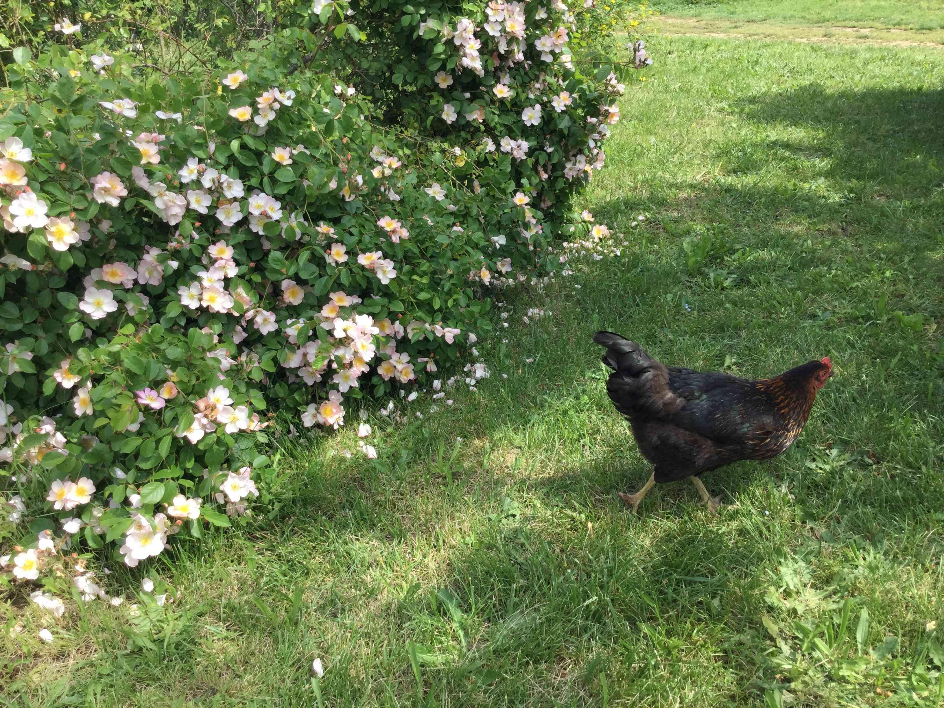La Roseraie des Pommiers en Ardèche 67e2fd10