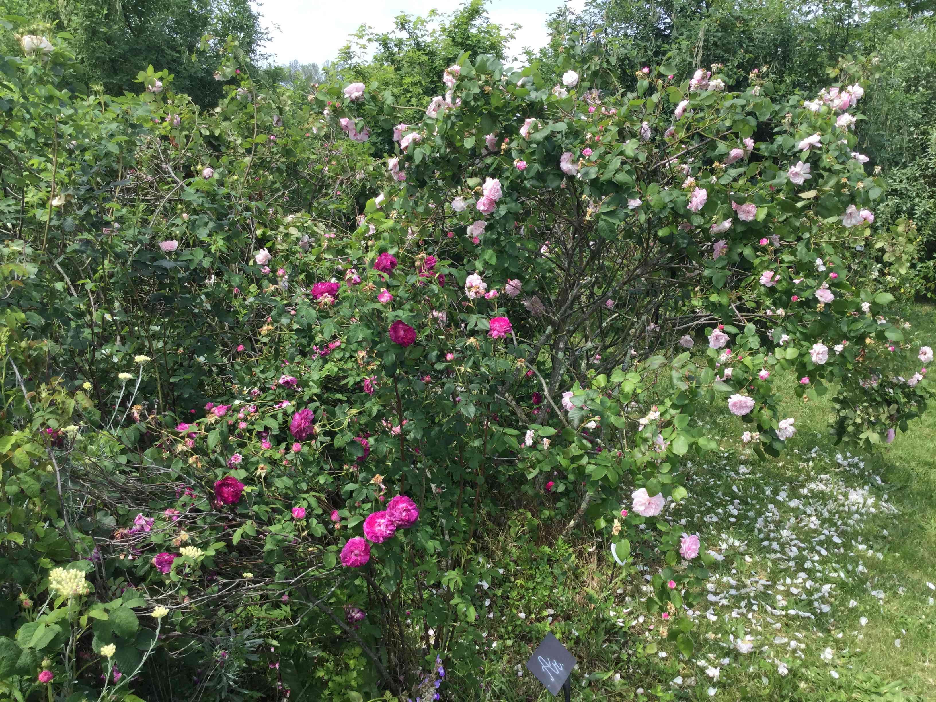 La Roseraie des Pommiers en Ardèche Cc08f110