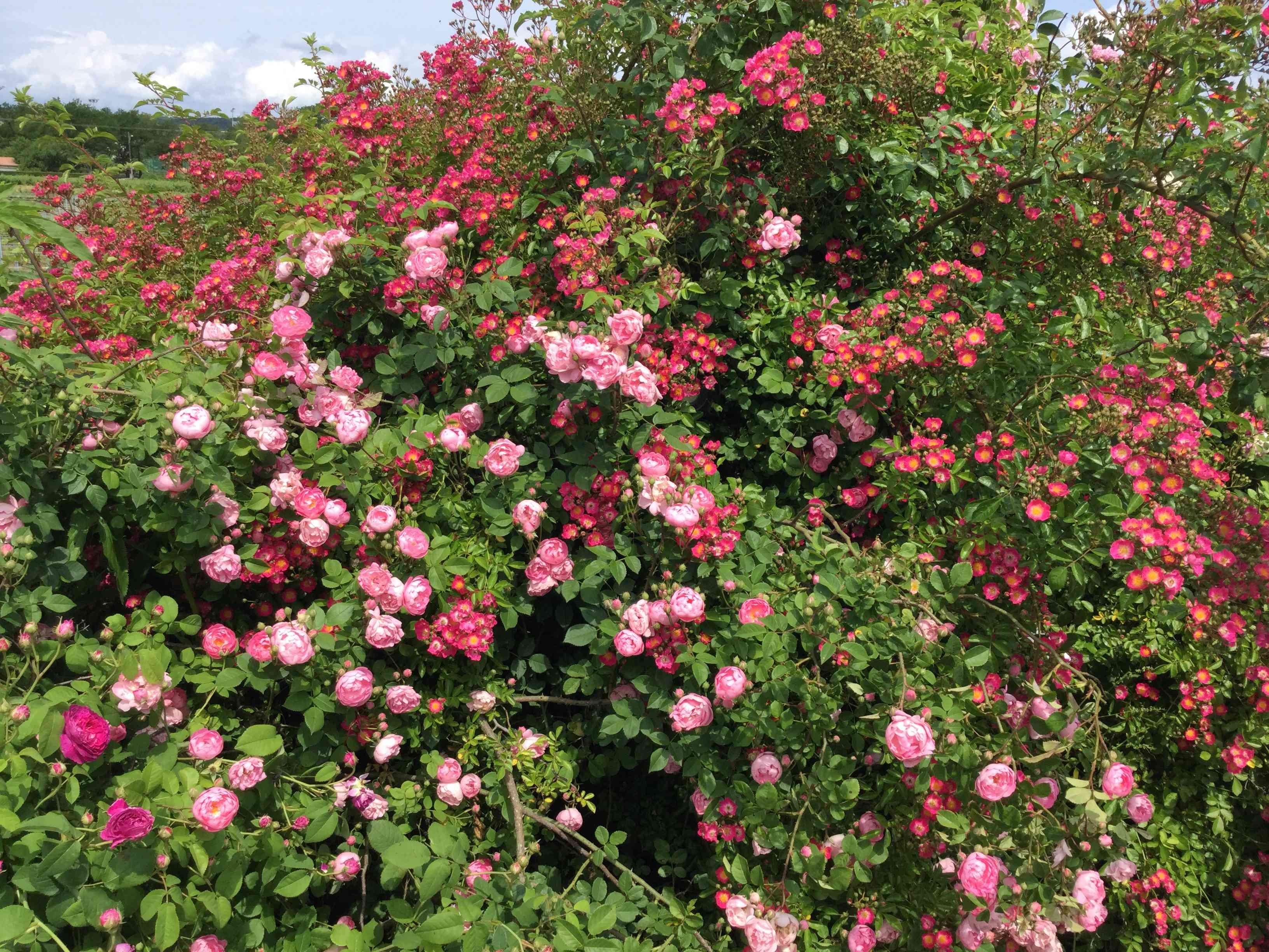 La Roseraie des Pommiers en Ardèche Eae9dc10