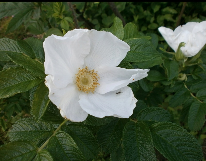 R. rugosa alba R_rugo10