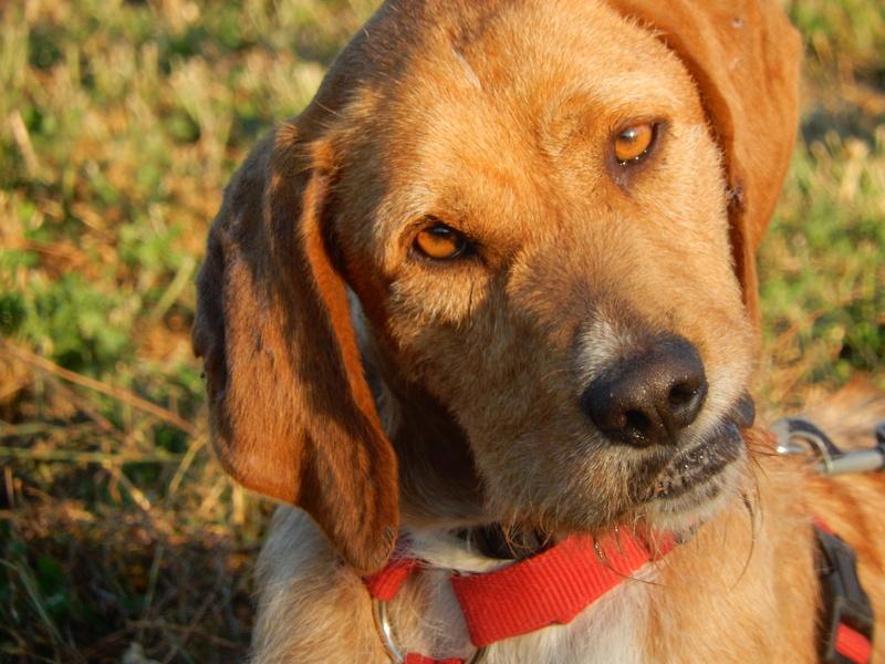 FAUVE (chien croisé fauve de Bretagne) 11dscn14