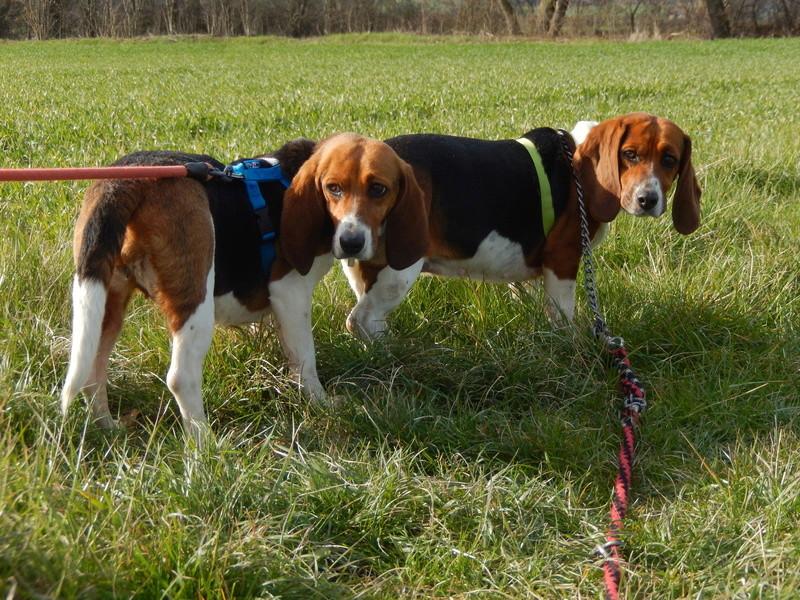 LOLI (femelle beagle) 1dscn620