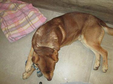 ZUMA (mâle croisé labrador) 28233210
