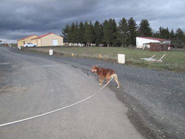 ZUMA (mâle croisé labrador) 28236710