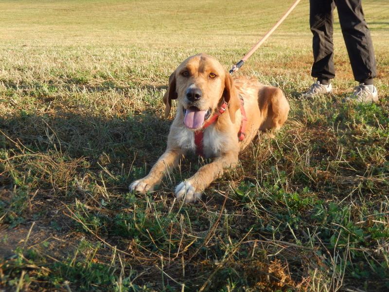 FAUVE (chien croisé fauve de Bretagne) 2dscn315