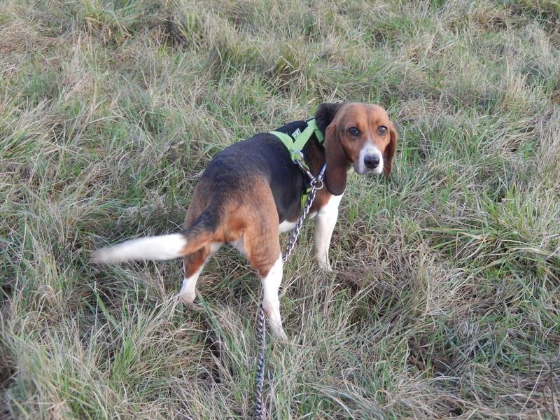 LOLI (femelle beagle) 2dscn417