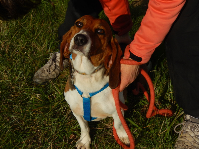 LOLI (femelle beagle) 5dscn618