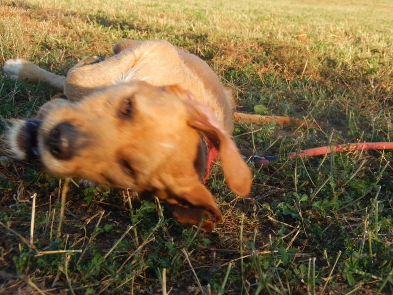 FAUVE (chien croisé fauve de Bretagne) 6dscn313