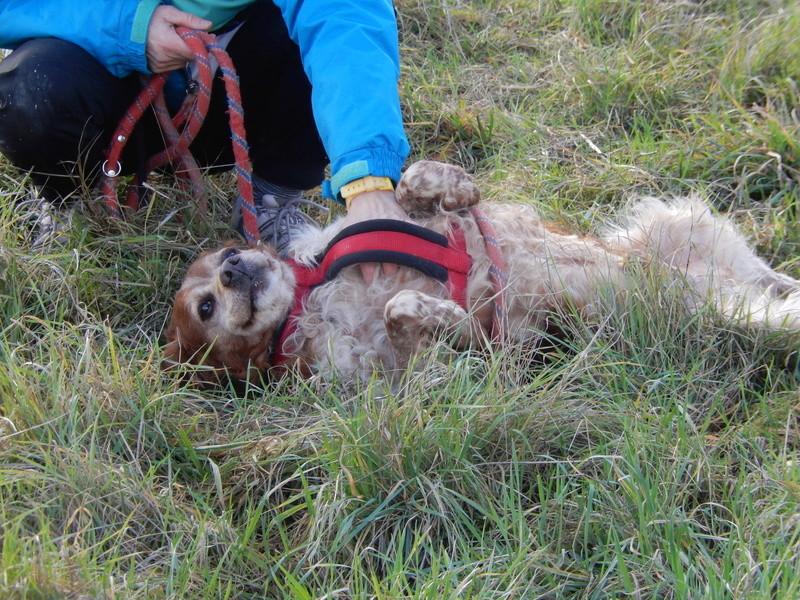 BOBY (mâle épagneul breton) 6dscn421
