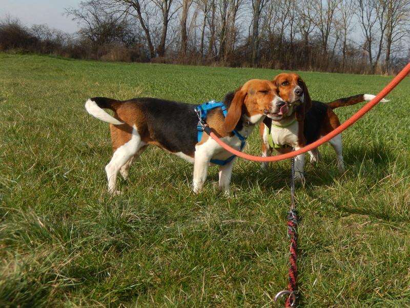 LOLI (femelle beagle) 6dscn618