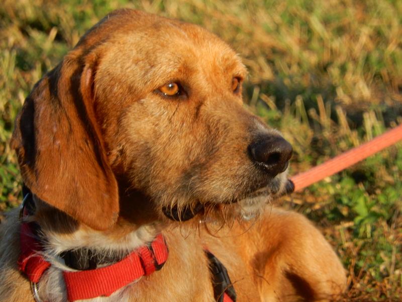 FAUVE (chien croisé fauve de Bretagne) 7dscn313