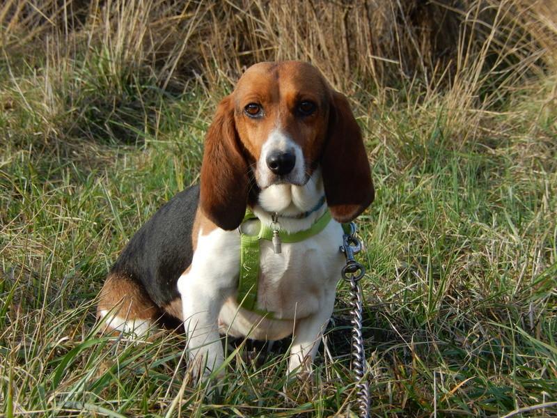 LOLI (femelle beagle) 8dscn413