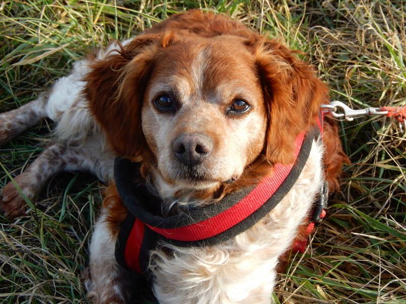 BOBY (mâle épagneul breton) 8dscn415