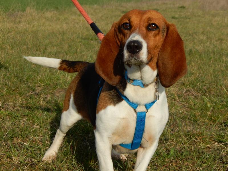 LOLI (femelle beagle) 9dscn615