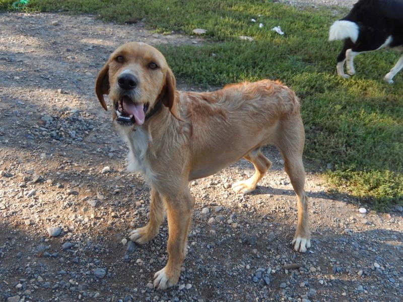 FAUVE (chien croisé fauve de Bretagne) Dscn3321