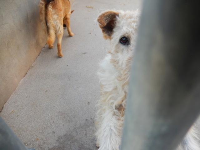 BEN (mâle fox terrier) Dscn6410