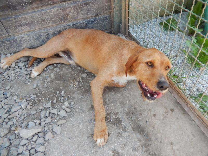 FAUVE (chien croisé fauve de Bretagne) Dscn9612