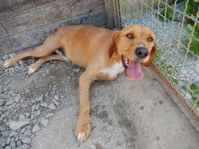 FAUVE (chien croisé fauve de Bretagne) Dscn9613