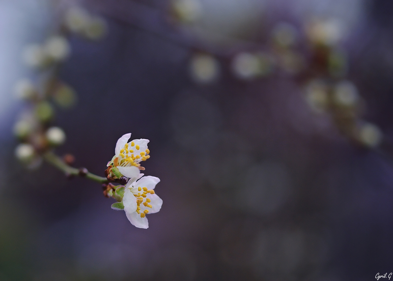 petite fleur de prunier Imgp6612
