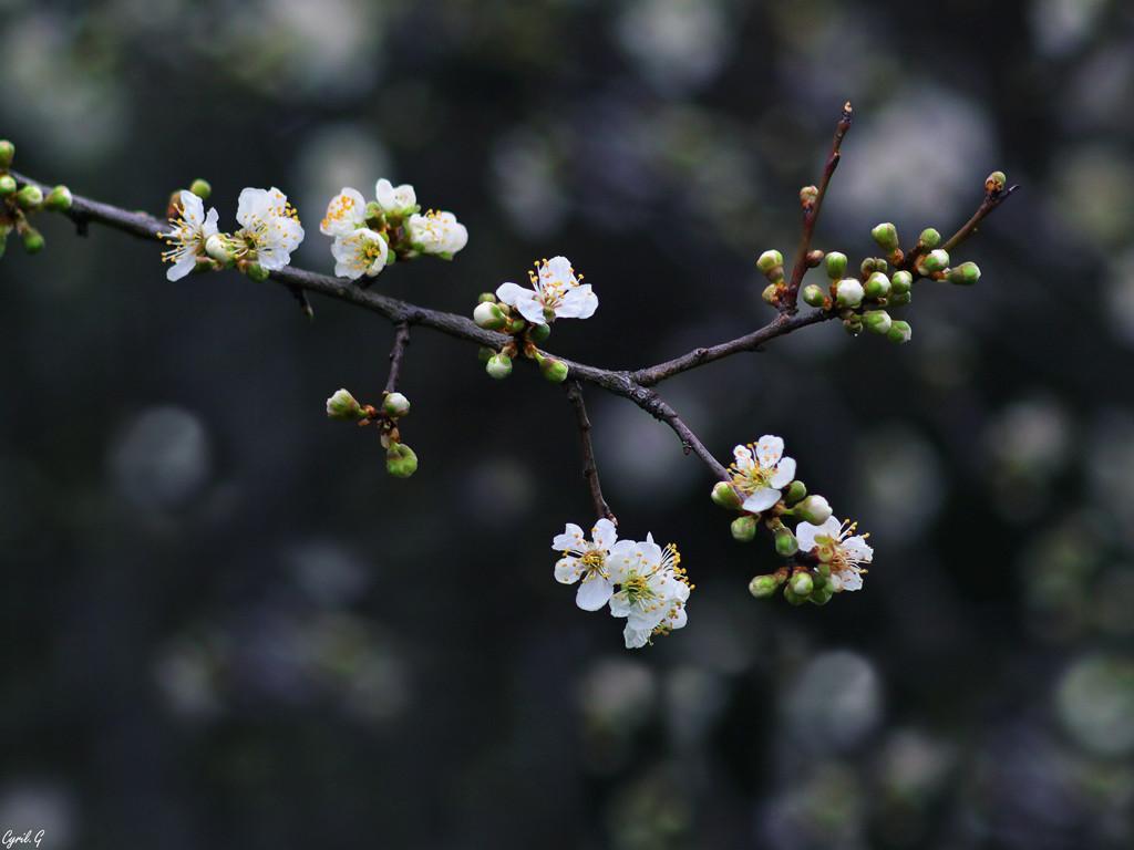 Petite fleur de prunier 2 Imgp6615