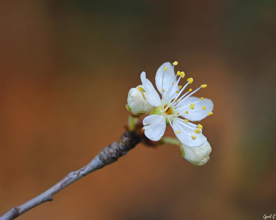Fleur de poirier Imgp7913