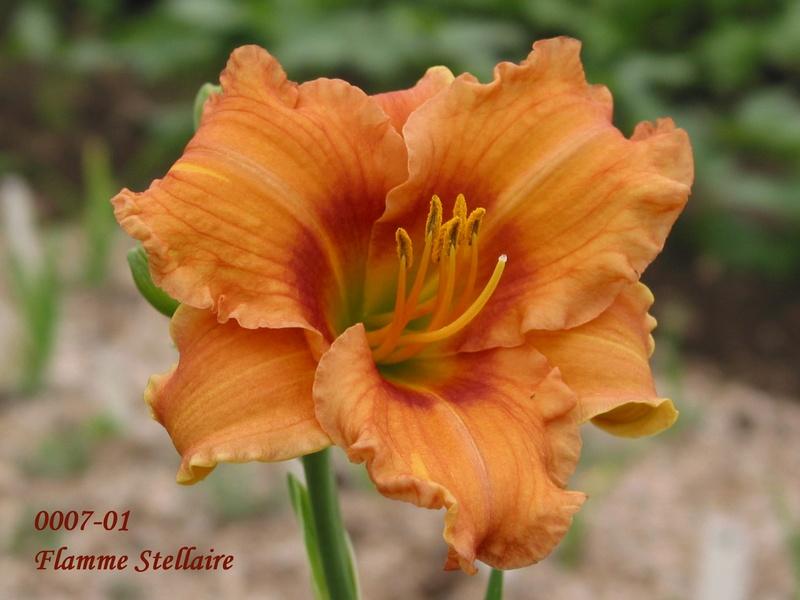 Mes hybrides:  Semis 2001 à 2005 encore au jardin. 0007-010