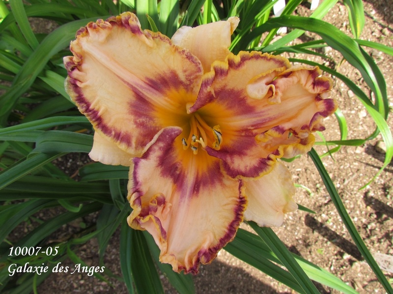 Mes hybrides: semis 2010 encore au jardin. 10007-10