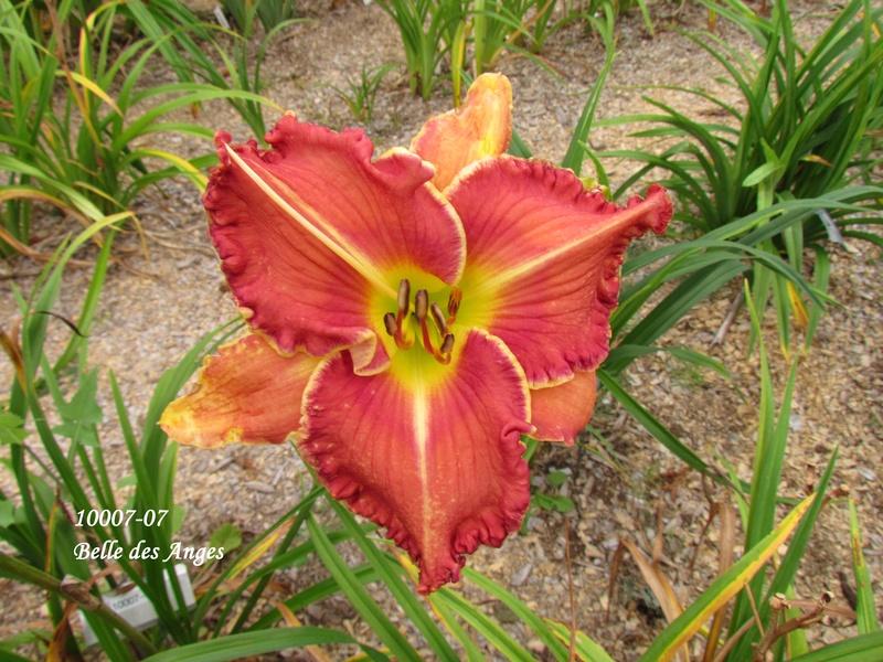 Mes hybrides: semis 2010 encore au jardin. 10007-11