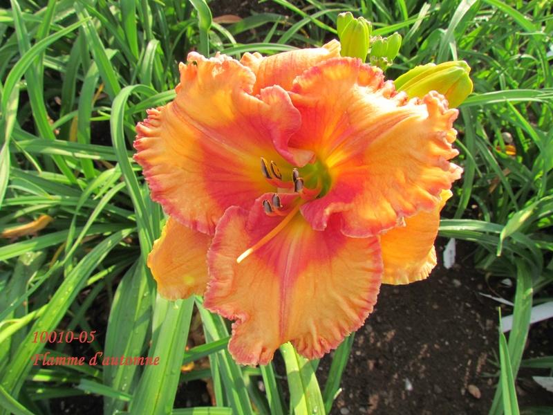 Mes hybrides: semis 2010 encore au jardin. 10010-10