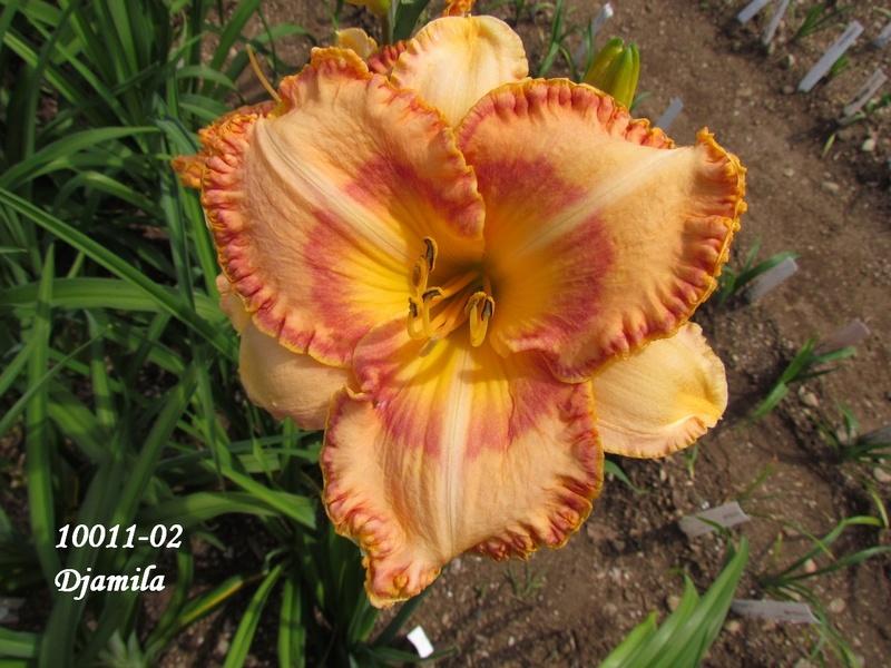 Mes hybrides: semis 2010 encore au jardin. 10011-10