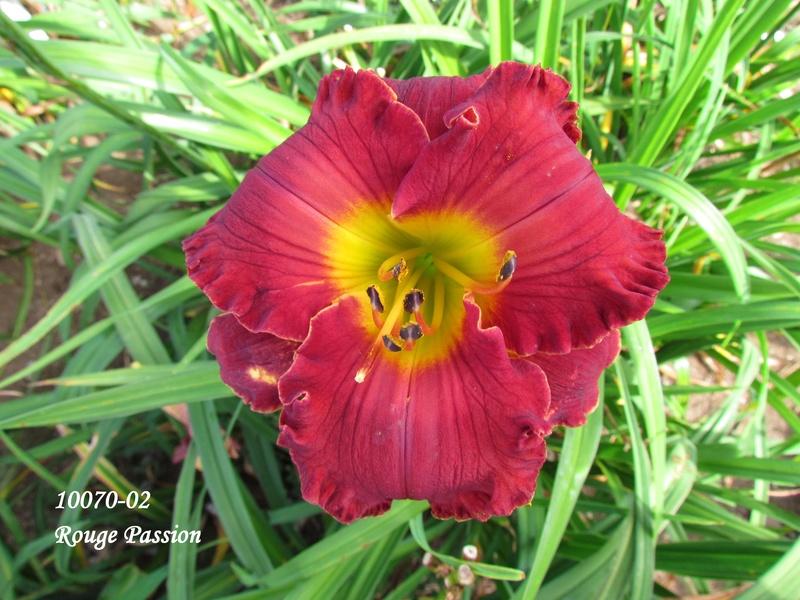 Mes hybrides: semis 2010 encore au jardin. 10070-10